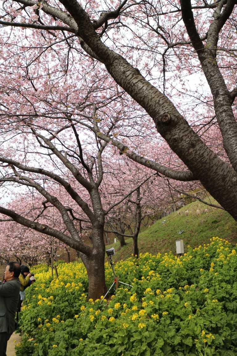 松田町 第20回桜まつり